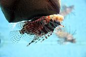 image of lion-fish  - The Lion - JPG