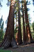 Giant Sequoias Mariposa