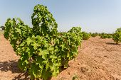 picture of arid  - Jatropha plants in their early stage of grown planted in the arid lands of West Africa - JPG