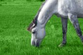 White Arabian Horse In The Meadow