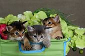 Three Cute Somali Kittens Isolated