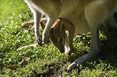 Female Wallaby With Joey In Puch