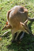 stock photo of wallabies  - Funny image of female wallaby with joey in pouch seen from above  - JPG