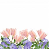 Postcard With Fresh Flowers Tulips  And Empty  Place For Your Text