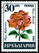 Vintage  Postage Stamp. Rosa Marista.