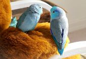 Pacific blue Parrotlet Birds