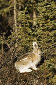 Wild Relative Of The Bunny - Showshoe Hare