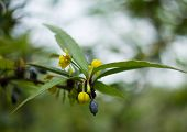pic of barberry  - Closeup of spring flowers and fruits of Barberry plant  - JPG