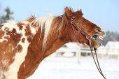 Nice Skewbald Yawning Pony In Winter