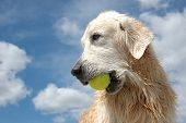 Portrait Of Wet Golden Retriever Dog With Yellow Tennis Ball At The Blue Sky