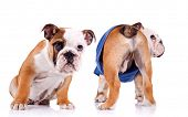 two english bulldog puppies are looking at something, one is sitting and one is standing with tail t