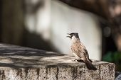 stock photo of bulbul  - The Sooty - JPG