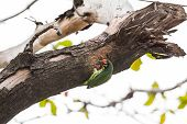 The Coppersmith Barbet Bird