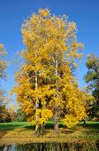 Two autumn aspen tree in the park. Alexandria Park, the city of Bila Tserkva, Kiev region, Ukraine.