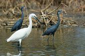 3 Western Reef Herons (egretta Gularis) Standing In The Mangroves
