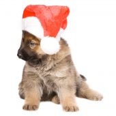 stock photo of german shepherd dogs  - German sheepdogs puppy in red christmas cap isolated on white background - JPG