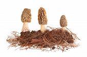 Yellow Morel Mushrooms And Pine Needle Substrate Isolated On White
