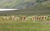 Patagonian Landscape With Meadows And Guanacos