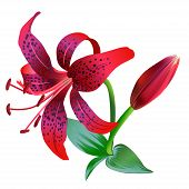 Realistic illustration of red tiger lily isolated on white background.