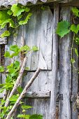 An old shed with climbing grapevine