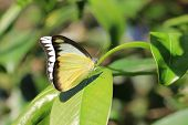 Whites butterfly and green leaf