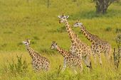 Giraffe Family In The Veldt