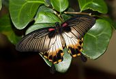 Papilio Memnon, Great Mormon