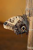 Caligo Memnon, Owl