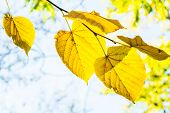 Yellow Linden Leaves On A Branch Backlit