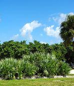 Saw Palmettos, Palm Trees, and Sea Grape