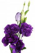 Beautiful violet eustoma isolated on white