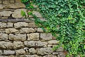 picture of old stone fence  - Old Stone Wall With Plants - JPG