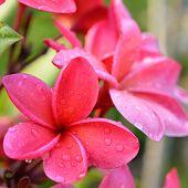 Frangipani Tropical Flowers, Plumeria Flowers Fresh