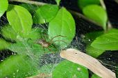 Spider Cobweb On Green Leaf
