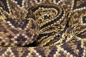 foto of venomous animals  - The Cascavel is a highly venomous tropical rattlesnake species - JPG