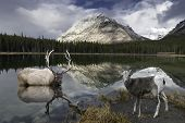 An Elk and Rocky Mountain Sheep at Reflective Buller Pond in Alberta, Canada's Rockie Mountains.