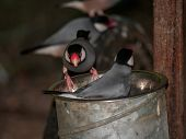 Java Sparrows In Metal Bucket