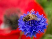 Bee On Blue Flower With Poppy In Background