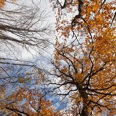 Tall Trees With Autumn Leaves Stretch Into The Sky