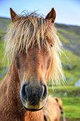 Closeup portrait of Icelandic Pony
