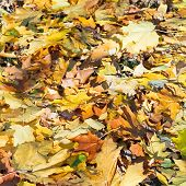 Maple Leaf Litter In Sunny Autumn Day
