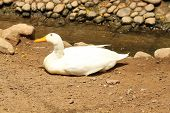 A White Duck Laying On The Ground