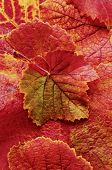 Background of brilliant orange,red and yellow grape leaves