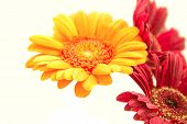picture of oblong  - gerbera orange and maroon white background close - JPG