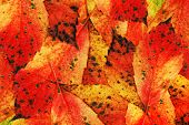 Autumn-Colours-Leaves