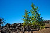 Pine Trees In Lava Field