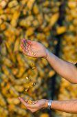 Corn In Farmer's Hands