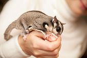 Gray Sugar Glider Seats On Woman Hand