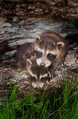 Baby Raccoon (procyon Lotor) Stands Atop Sibling