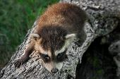 Baby Raccoon (procyon Lotor) Crawls Along Log